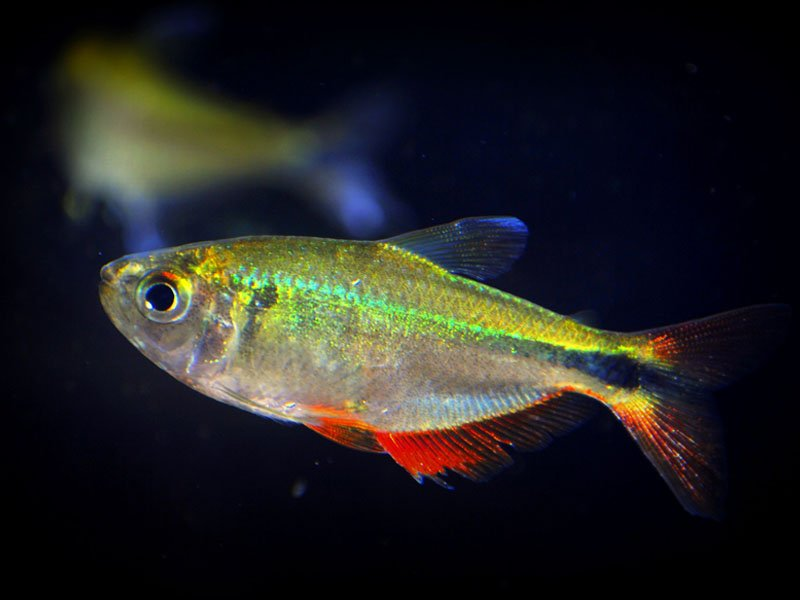 A vibrant Buenos Aires tetra swimming in the darkness of a tank