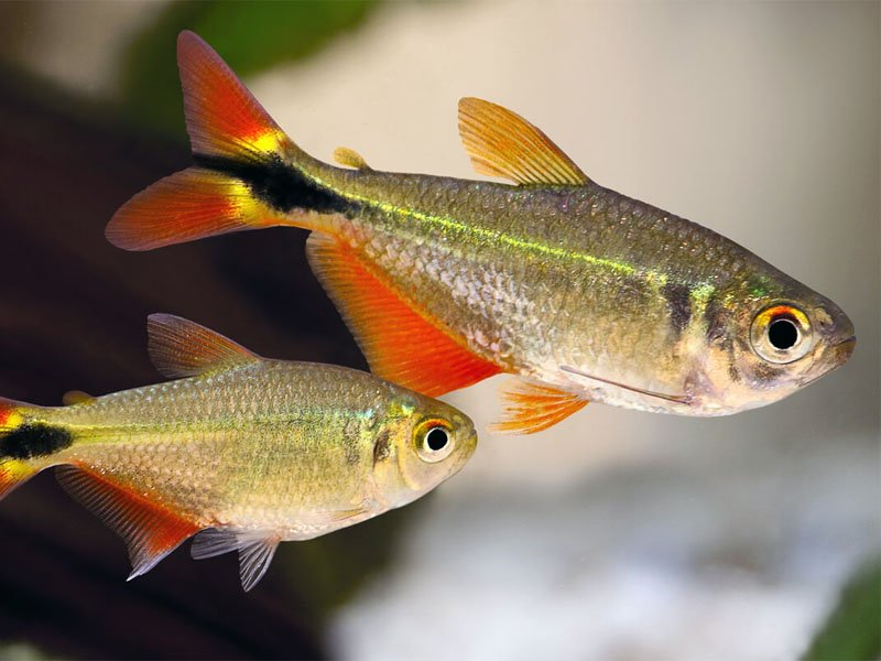 Two Buenos Aires tetras swimming together