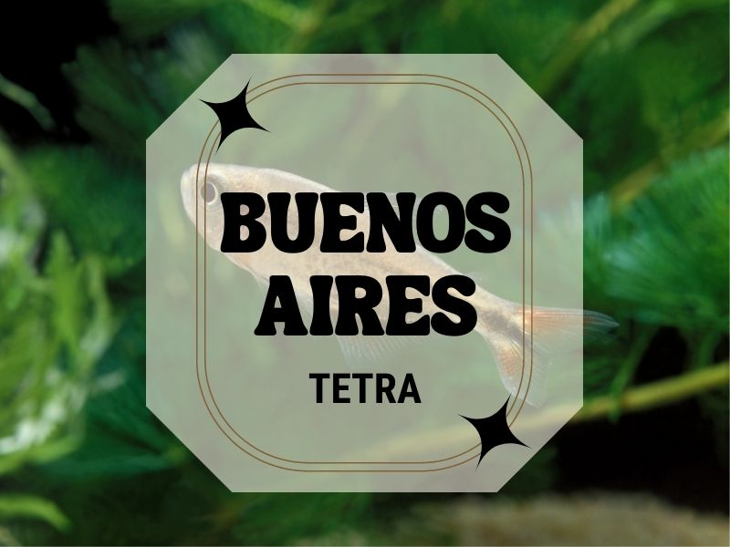 Buenos Aires tetra featured image, with one fish swimming in the background