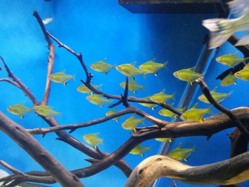 A school of lemon tetras swimming together near some tank decorations