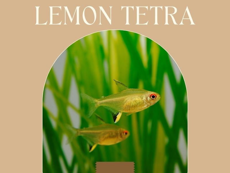 Lemon tetra featured image with two lemon tetras swimming together