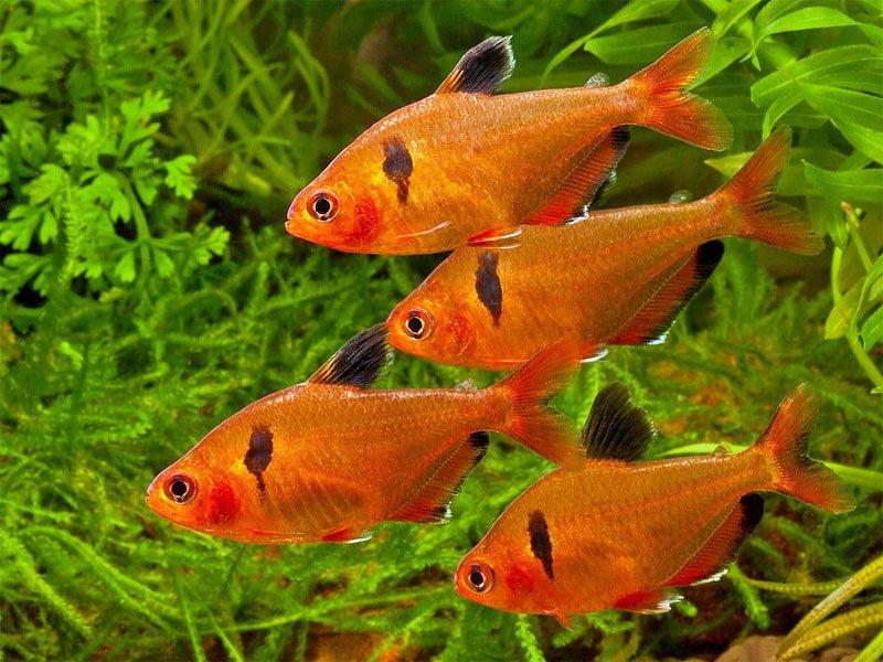Four serpae tetras swimming together among aquarium plants