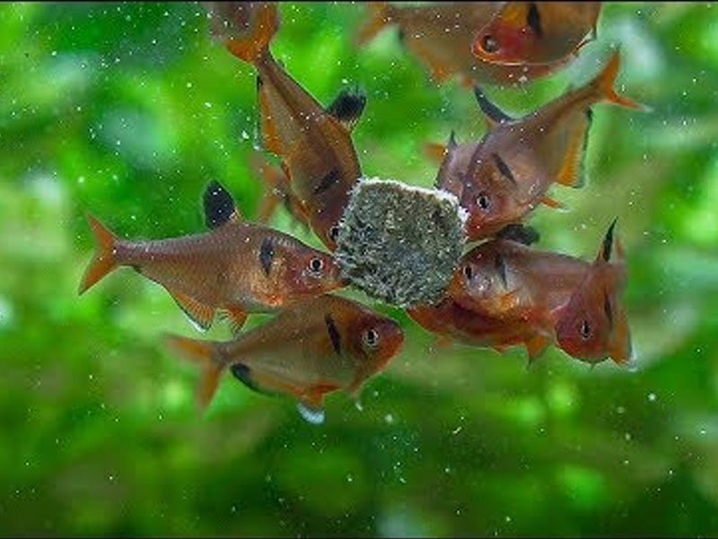 A school of serpae tetras eating some fish flakes