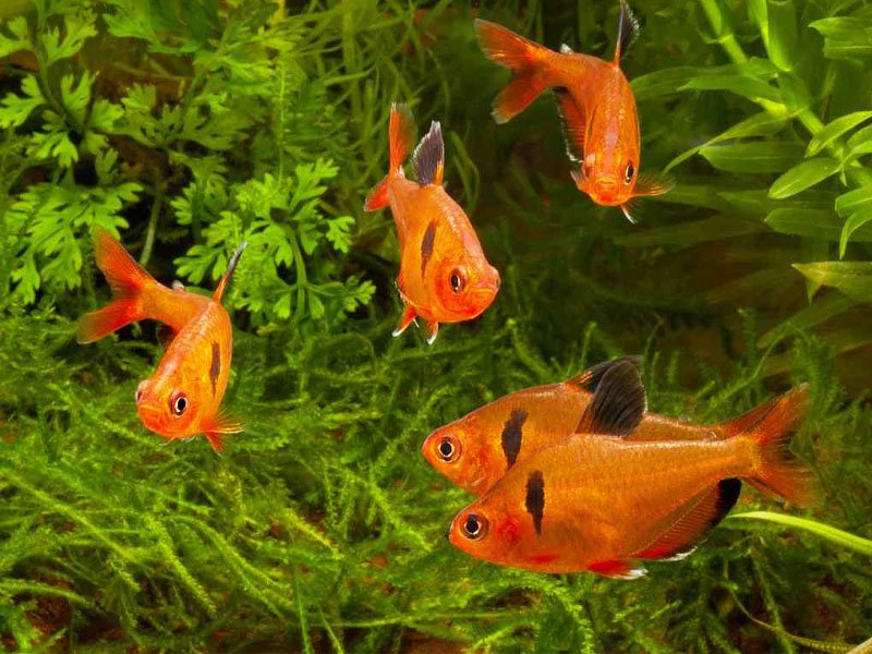 Five serpae tetras swimming near the bottom of the tank