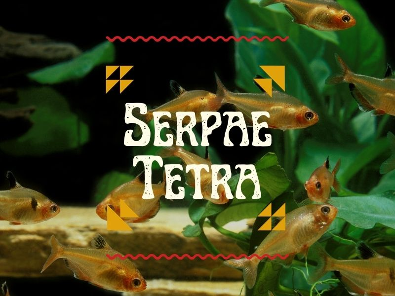 Serpae tetra featured image, with a school of serpae tetras swimming in the background