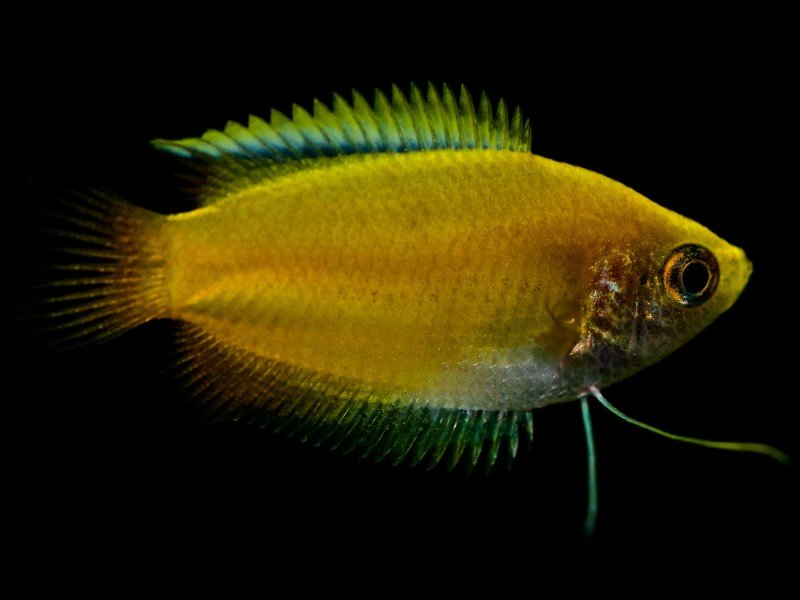A uniquely colored gold gourami swimming in the darkness of a tank