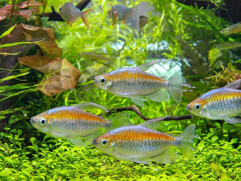 A school of Congo tetras swimming near some Java ferns and other plants