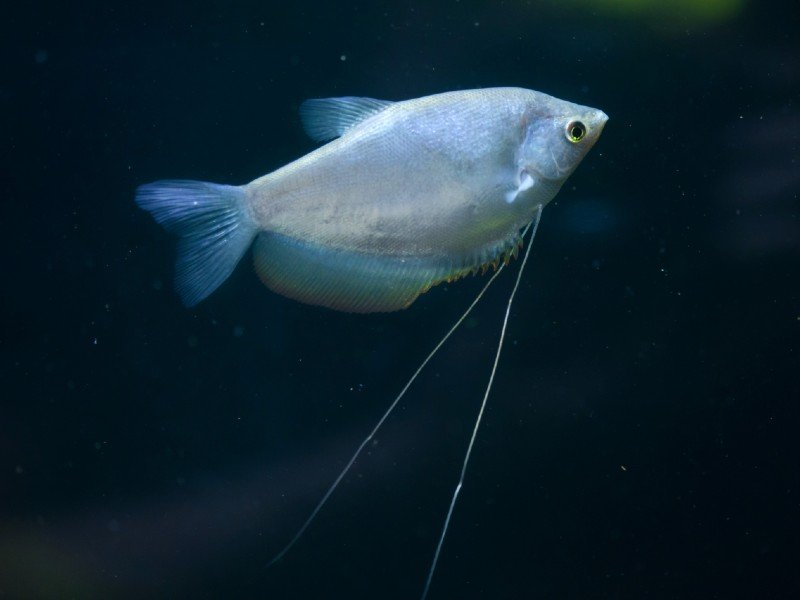 A pale moonlight gourami swimming in the darkness