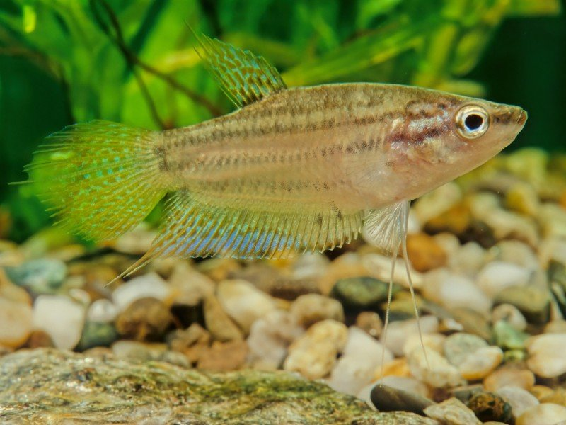 A beautiful licorice gourami near the substrate at the bottom of a tank