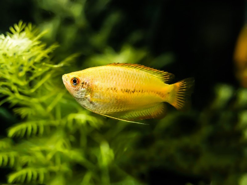 A small gold gourami swimming near the bottom of the tank